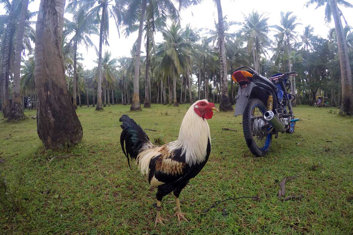 Island_divers_caluya_farming_rooster_G1760323